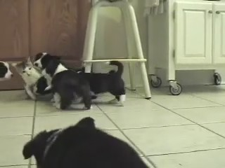 Welsh Cardigan Corgi perritos gato