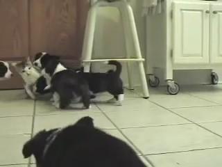 Welsh Cardigan Corgi perritos gato