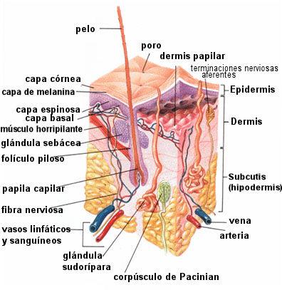 capa piel estructura dermis epidermis
