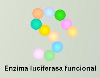 enzima luciferasa funcional