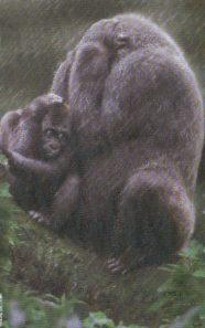 gorilas protegiendose lluvia