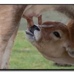 leche-vaca-mamando-propia-ubre