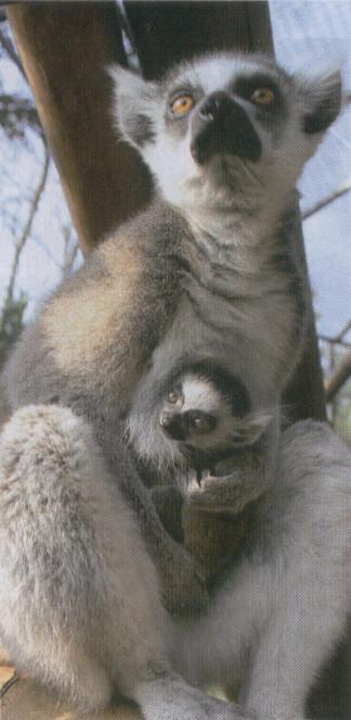 lemur catta cria