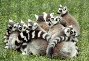 lemur-catta-crias