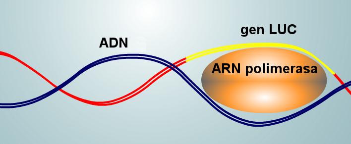 luciernaga aminoacidos enzima luz