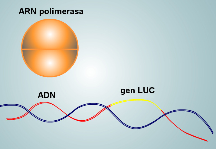luciernaga arn polimerasa adn gen LUC