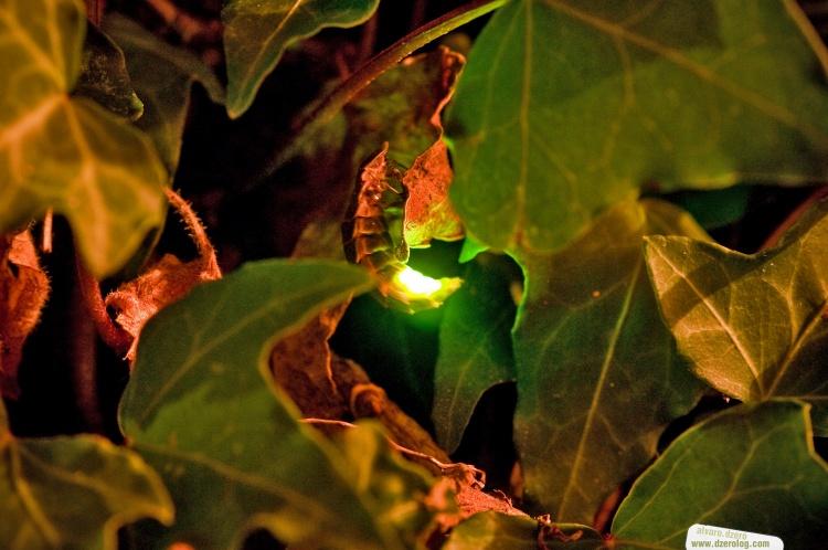 luciernaga firefly brillando
