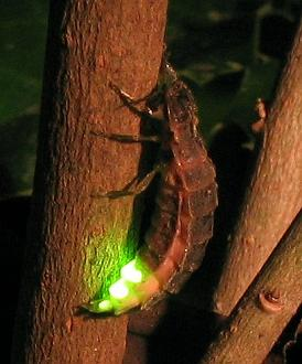 luciernaga-firefly-brillo