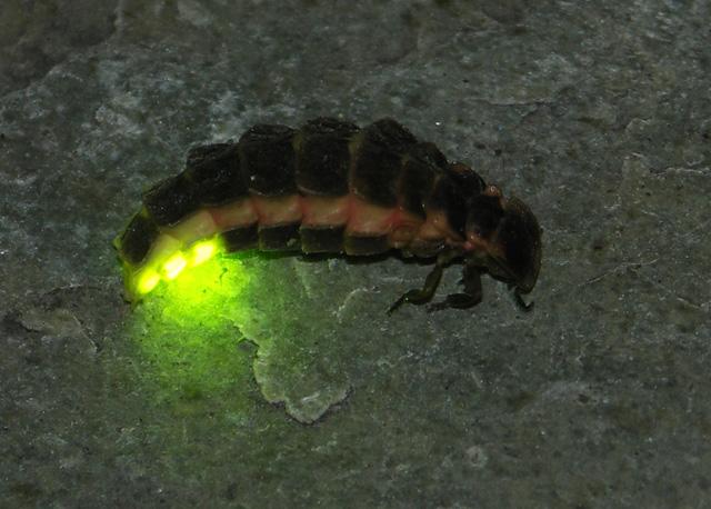 luciernaga-firefly-luz