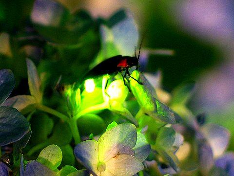 luciernaga fulgor resplandor luz