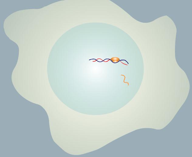 luciernaga luz mARN citoplasma celula