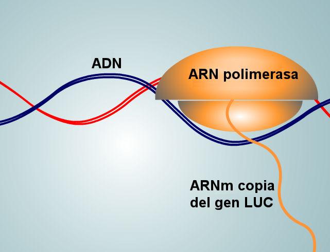 luciernaga-luz-mARN-copia-gen-LUC