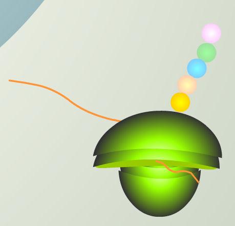 luciernaga luz mARN luc gen ribosoma aminoacidos