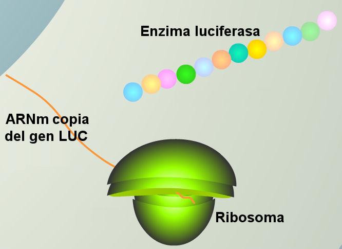 luciernaga-luz-mARN-luc-gen-ribosoma-luciferasa
