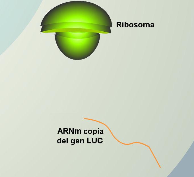 luciernaga-luz-mARN-luc-gen-ribosoma