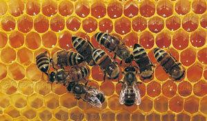 miel-abeja-por-que-produccion-composicion-nectar-apis-melifera