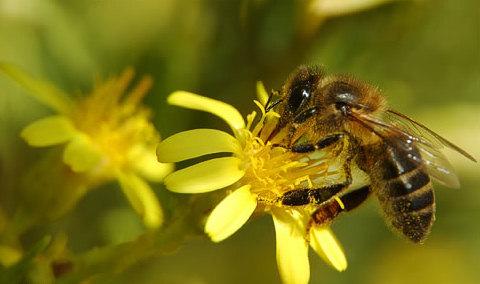 miel-abeja-por-que-produccion-composicion-nectar-bee