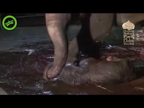 parto elefanta-nicky-riski