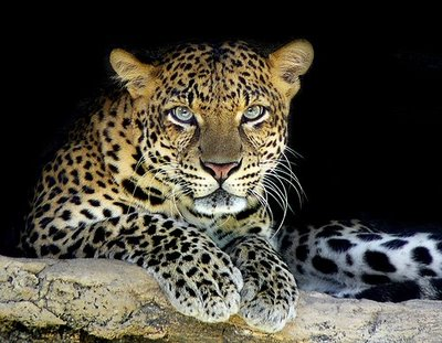 Leopardo animal felino