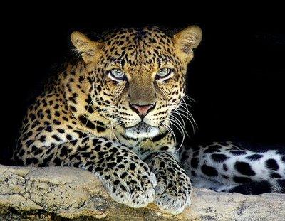 Leopardo animal felino
