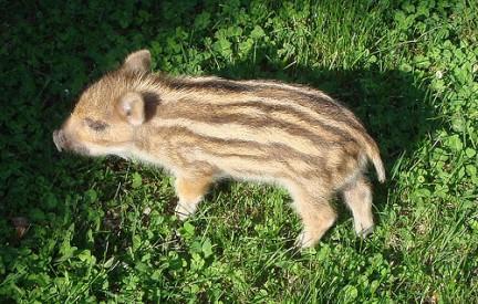 animales-bonitos-cria jabali