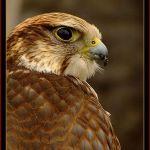 animales-bonitos-halcon