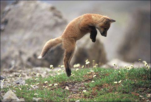 animales-bonitos-zorro