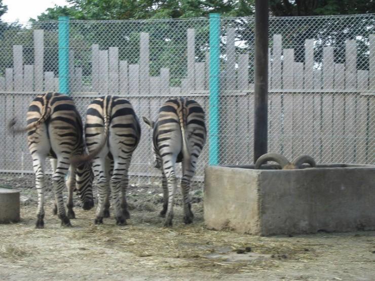 animales-graciosos-curiosos-cebras-choto