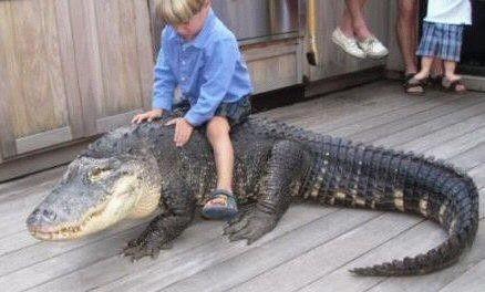 animales-graciosos-curiosos-cocodrilo