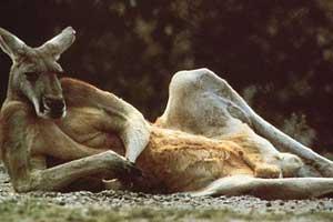 animales-graciosos-imagenes-images-pic-pics-canguro exhibicionista