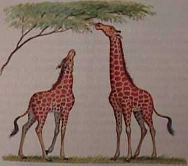 como origen-evolucion-jirafas-giraffes