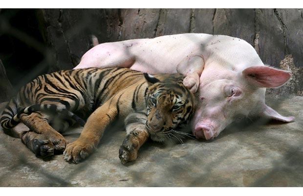 cria tigre viviendo cerdo