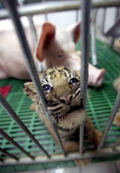 crias tigres viviendo cerdos