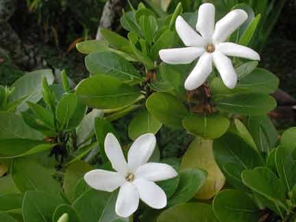 gardenia_taitensis-flor-oficial-tahiti