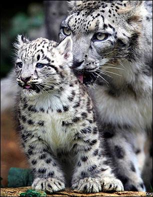 leopardo de las nieve cria
