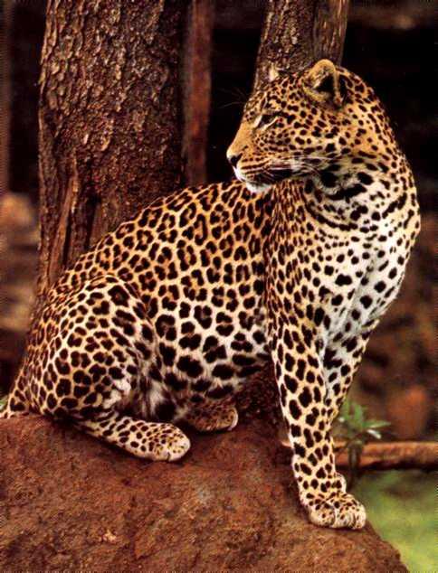 leopardo manchas pelaje piel