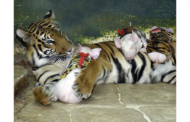 madre tigre cerditos cuidando