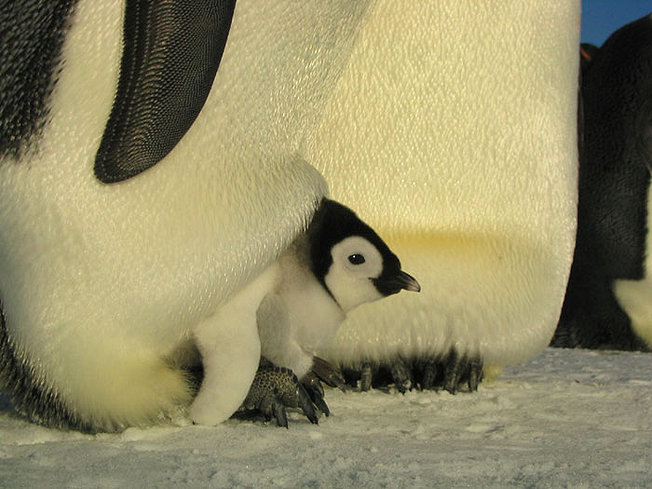 marcha-pinguinos-viaje-emperador