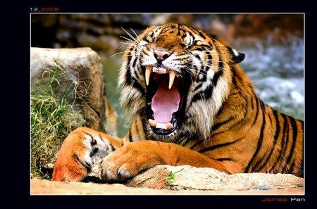 postales-naturaleza-tigre-tiger