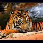 Postales de la Naturaleza: El tigre
