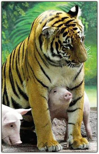 tigre viviendo cerdito cuidando