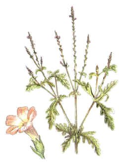 verbena planta