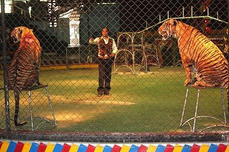 zoo tigres Sriracha circo espectaculo