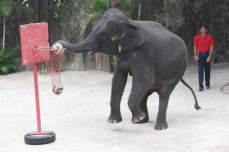 zoo tigres Sriracha elefantes baloncesto
