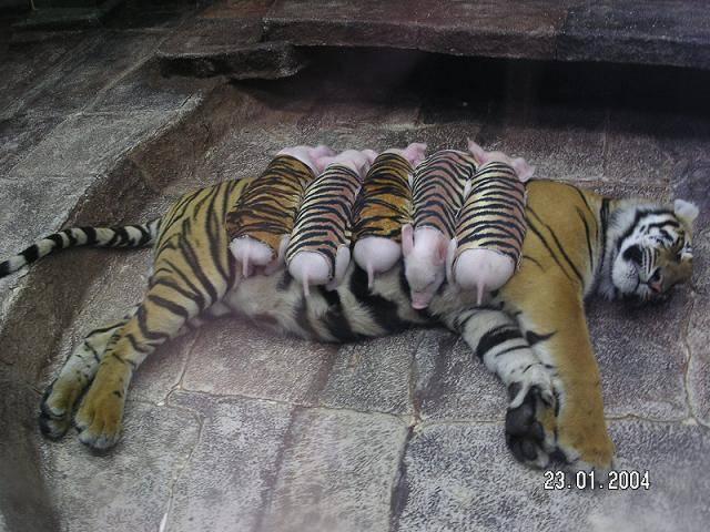 zoo tigres Sriracha tigre amamantando cerditos