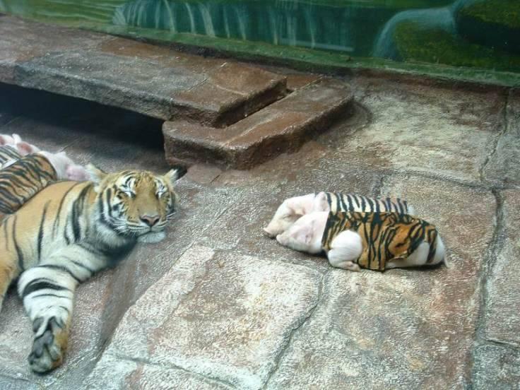 zoo tigres Sriracha tigre cerdito piel