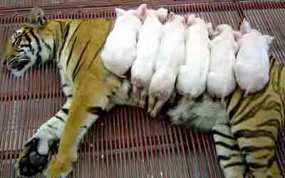 zoo tigres Sriracha tigre cerditos