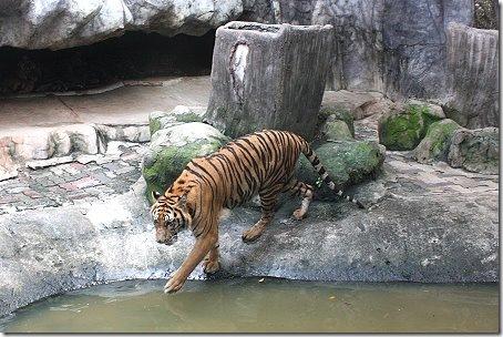 zoo tigres Sriracha