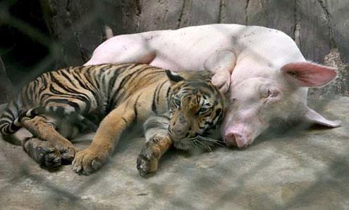 zoo tigres chonburi tigre cerdo