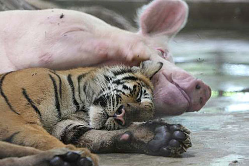 zoo tigres tailandes tigre cerdo